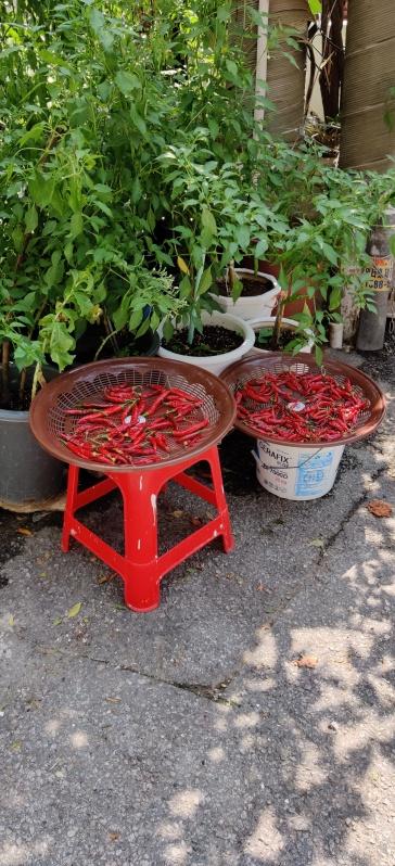 Sinchon Straße mit Chilis